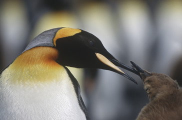 UK, South Georgia Island, King Penguin feeding chick, close up