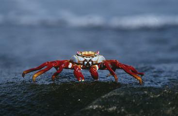 Ecuador, Galapagos Islands, Sally Lightfoot Crab on rock, close up