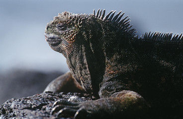 Ecuador, Galapagos Islands, Marine Iguana resting on rock, close up