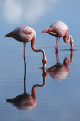 Ecuador, Galapagos Islands, two Greater Flamingoes standing in shallow water, side view