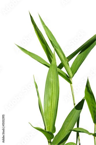 Foto op Plexiglas Bamboo feuille de bambou 2