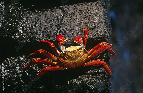 Ecuador, Galapagos Islands, Sally Lightfoot Crab on rock, view from above