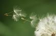 Dandelion seeds flying, extreme close up