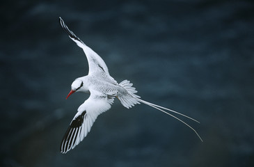 Red-billed Tropicbird flying above sea, elevated view