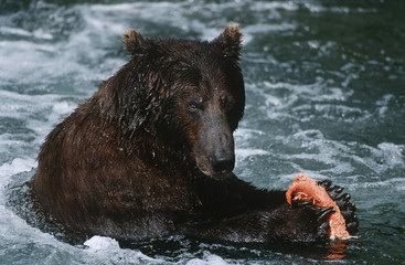 USA, Alaska, Katmai National Park, Brown Bear feeding on salmon in river