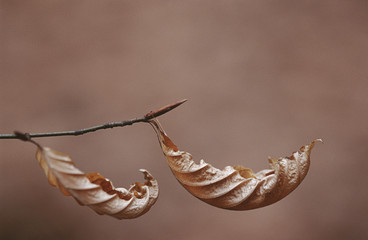 Dry leaves of Beach tree hanging on branch, close up