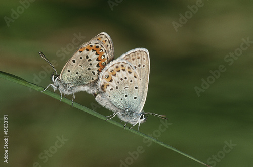 Two Common Buckeye butterflies mating, side view