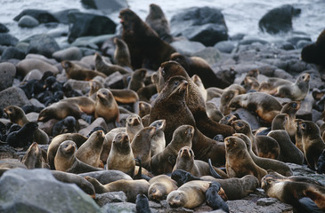 USA, Alaska, St. Paul Island, colony of Northern Fur Seals on rocky shore