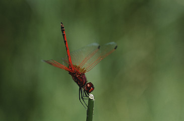 Kirby's Dropwing dragonfly on stem, close up