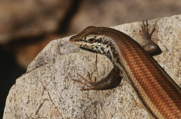 Variable Skink resting on rock, elevated view