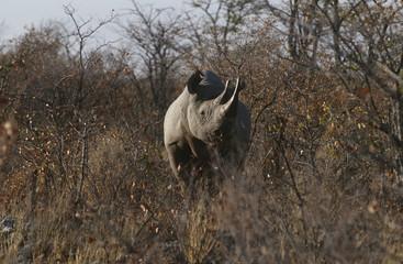Namibia, Black Rhinoceros standing amongst bushes