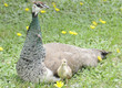 Mama Peahen Watching Chick