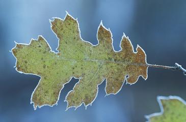 Frosty oak leaf, close-up