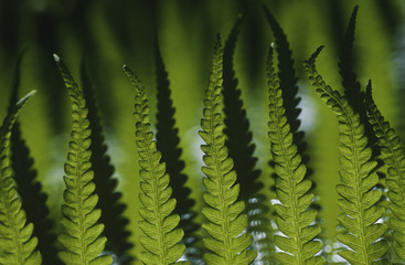 Close-up of fern leaves, focus on foreground