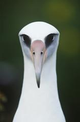 Close-up of Laysan Albatross Phoebastria immutabilis, front view
