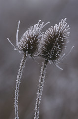 Frosty Common Teasel