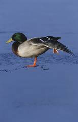 Male Mallard duck Anas platyrhynchos on ice, side view