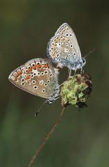 Couple of Gossamer-Winged butterflies on flower, side view