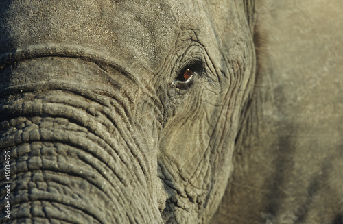 Close-up of African Elephant Loxodonta africana, selective focus