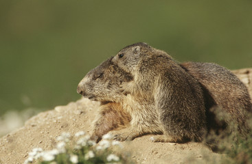 Female Marmot with cub