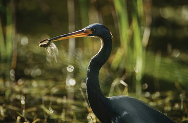 Tricolored Heron Egretta tricolor with dragonfly in beak