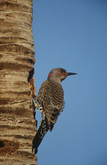Gila Woodpecker Melanerpes uropygialis on tree trunk
