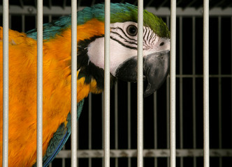 Blue-and-yellow Macaw in a cage