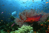 Scuba diver, Coral grouper and school of fish on coral reef