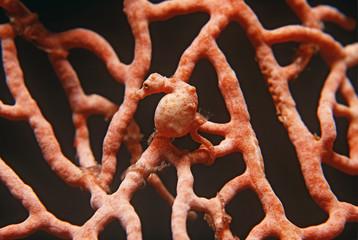 Pygmy seahorse on gorgonian coral