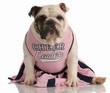 english bulldog dressed up as a cheerleader