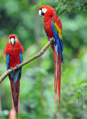 pair of scarlet macaws, costa rica