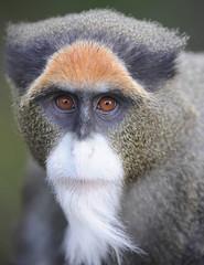 deBrazzas guenon monkey, africa