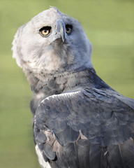 costa rican harpy eagle