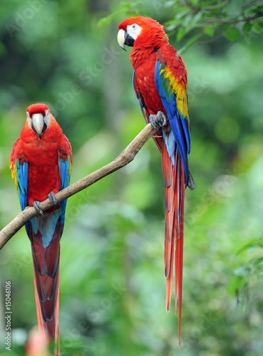 Tuinposter Papegaai pair of scarlet macaws, costa rica