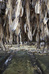 fish hanging to dry