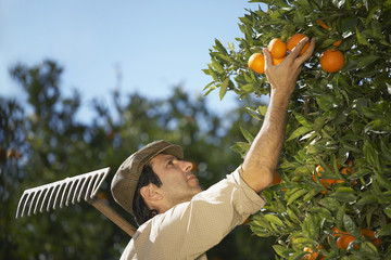 Farmer picking oranges