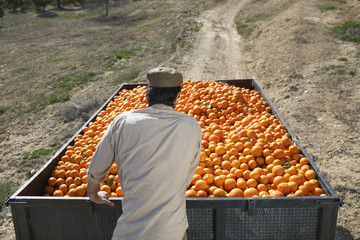 Farmer looking at oranges in trailer, back view