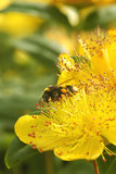 bee collecting pollen from a summer flower poster