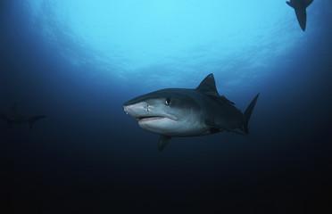 Tiger Shark galelcerdo cuvieri, underwater view