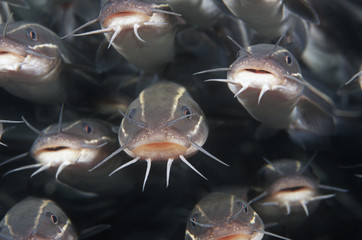 School of Striped catfish