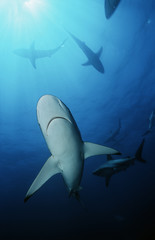 Blacktip sharks carcharhinus limbatus, underwater view