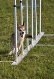 Norwegian Lundehund weaving through weave poles at agility trial poster