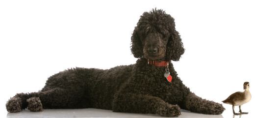 hunting dog - standard poodle and baby mallard duck