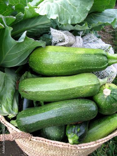 Produção de Legumes no Campo - Zucchini - Courgette