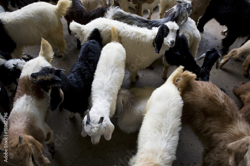 dubai uae goats for sale at shindagha market in bur dubai