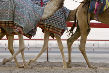 dubai uae blurred motion of camels running during training at nad al sheba camel racetrack