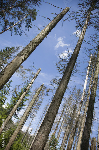 coniferous trees in forest low angle view