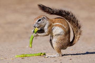 Ground squirrel (Xerus inaurus), Kalahari, South Africa