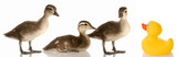 blended family - three baby mallard ducks and a rubber duck