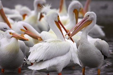 American White Pelicans at White Rock Lake in Dallas